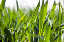 Free Wheat Field Royalty Free Stock Photo - 14054715