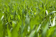 Free Wheat Field Royalty Free Stock Photography - 14054747