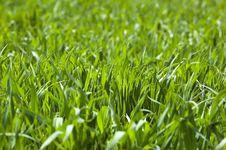 Free Wheat Field Royalty Free Stock Photo - 14054785
