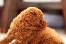 Free Red Toy Poodle Royalty Free Stock Photo - 14054815