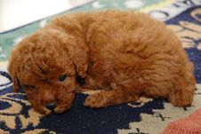 Free Red Toy Poodle Royalty Free Stock Image - 14054836