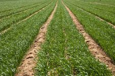 Free Wheat Field Stock Photos - 14054873