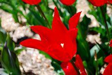 Free Red Tulip Stock Photos - 14054893