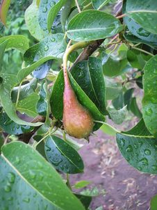 Free Pear Royalty Free Stock Photography - 14055507