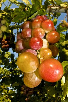 Free Bunch Of Grapes Stock Image - 14055821