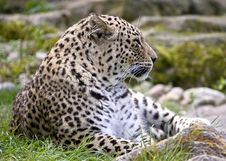 Free Persian Leopard 5 Royalty Free Stock Image - 14056196