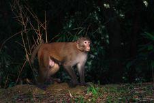 Free Macaca Mulatta Royalty Free Stock Images - 14058079