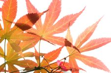 Free Red Leaves Royalty Free Stock Images - 14058299