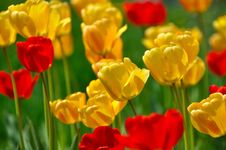 Free Yellow Tulips Royalty Free Stock Photos - 14059318