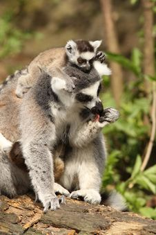 Free Ring-tailed Lemur With A Baby On Its Head Royalty Free Stock Image - 14059376