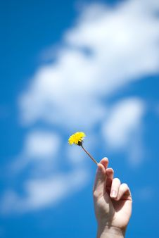 Dandelion In A Hand Stock Images