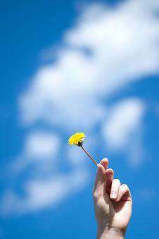 Dandelion In A Hand