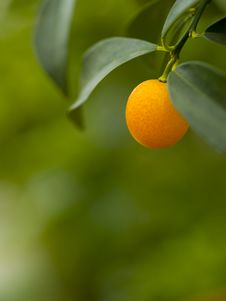 Free A Ripe Orange Hanging On A Branch Royalty Free Stock Photography - 14059607