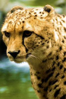 Free Cheetah Royalty Free Stock Image - 14059846