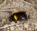 Free Bee Digging In Sand. Royalty Free Stock Images - 14063359