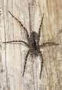 Free Hunting Spider On Wood. Stock Photos - 14063393