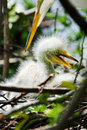 Free Egret Chick Stock Photos - 14063563