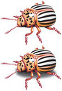 Free Colorado Potato Beetle Royalty Free Stock Photos - 14069698