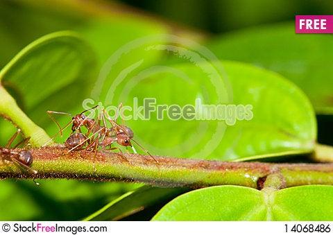 Free Weaver Ants Crossing Royalty Free Stock Image - 14068486
