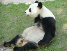 Free Panda Royalty Free Stock Image - 14060136
