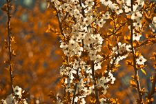 Free Apricot Tree Background Royalty Free Stock Photo - 14060495