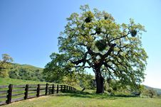 Old Oak Tree Royalty Free Stock Images