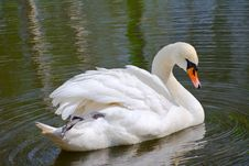 Free Swan On The Lake Royalty Free Stock Photography - 14062487