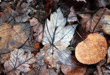 Free Fallen Leaves Royalty Free Stock Photos - 14062898