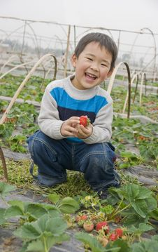 Smiling Boy Harvesting Strawberries Royalty Free Stock Images