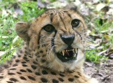 Free Cheetah Royalty Free Stock Photo - 14063305