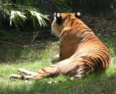 Lounging Tiger Royalty Free Stock Image