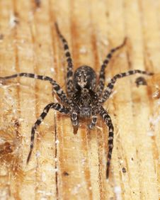 Free Hunting Spider On Wood. Stock Photos - 14063403