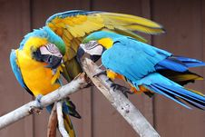 Free Macaws Together Royalty Free Stock Images - 14063559