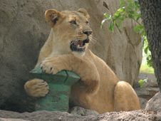 Playful Lioness Stock Photography