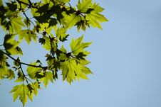 Free Green Maple Leaf Stock Photography - 14064452