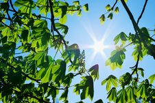 Free Branches Of Tree And Sun Stock Photo - 14064480