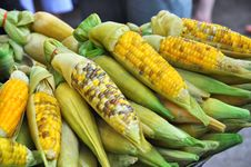Free Corn On The Cob Boil Ripe Stock Images - 14064844