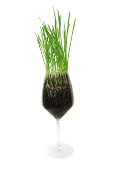 Free Green Grass In The Glass Royalty Free Stock Image - 14065306