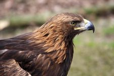 Free Golden Eagle Stock Photography - 14065802