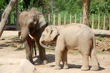 Free Elephants Royalty Free Stock Photos - 14067218