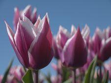 Free Purple Tulips Stock Images - 14068004