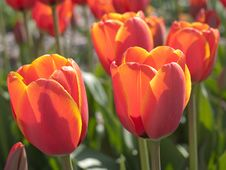 Free Orange Tulips Royalty Free Stock Photos - 14068008