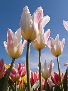 Free White Tulips Stock Image - 14068011