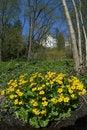 Free Marsh Marigold Flowers Royalty Free Stock Photo - 14075545