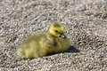 Free Canada Goose Gosling Royalty Free Stock Photos - 14075808