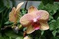 Free Phalaenopsis Orchid Royalty Free Stock Photo - 14077125