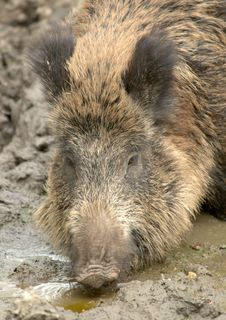 Wildlife - Wild Boar Royalty Free Stock Photography
