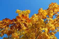 Free Yellow Leaves Royalty Free Stock Photography - 14070687