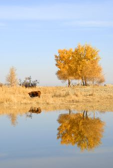 Free Autumn Tree And Cow Royalty Free Stock Photo - 14071305