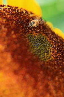 Free Bee On A Sunflower Royalty Free Stock Image - 14072066